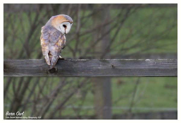 Barn Owl by Norfolkboy