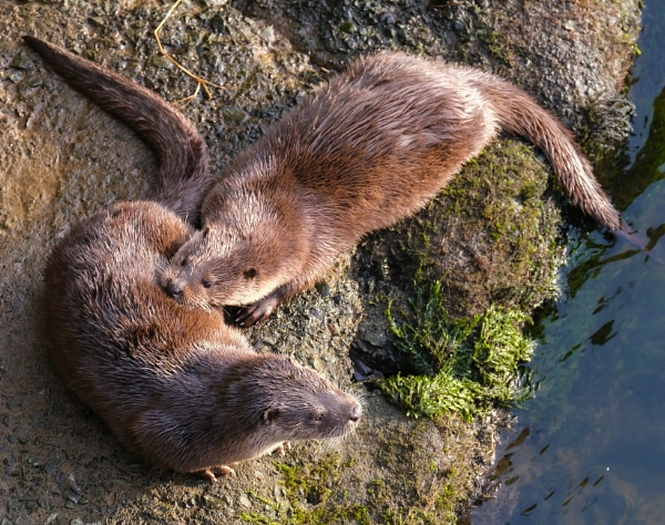 Resident Otters by mikeyham
