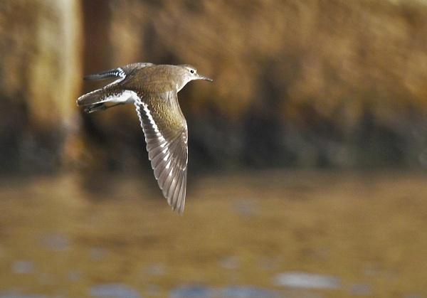 Common Sandpiper in flight by KingArthur