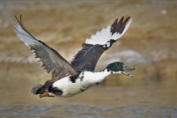 Quack ! by KingArthur