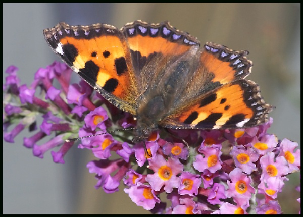 Small Tortoiseshell Nectaring.... by Badgerfred