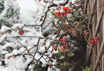 Japonica in the snow