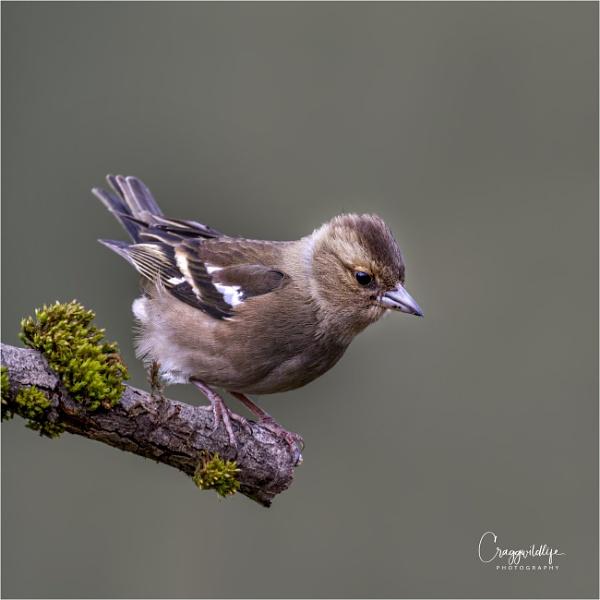 Chaffinch by craggwildlifephotography