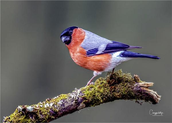 Male Bullfinch by craggwildlifephotography