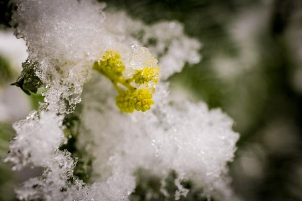 Mimosa Tree - Acacia  by JackAllTog
