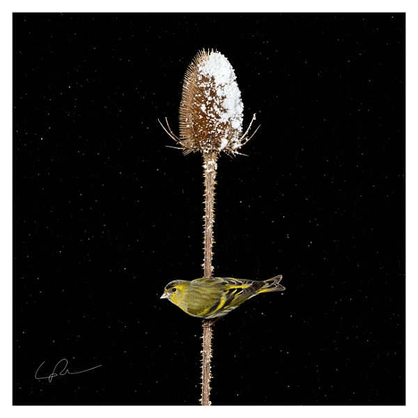 Snowy Siskin on Teasel by LukeParkinson