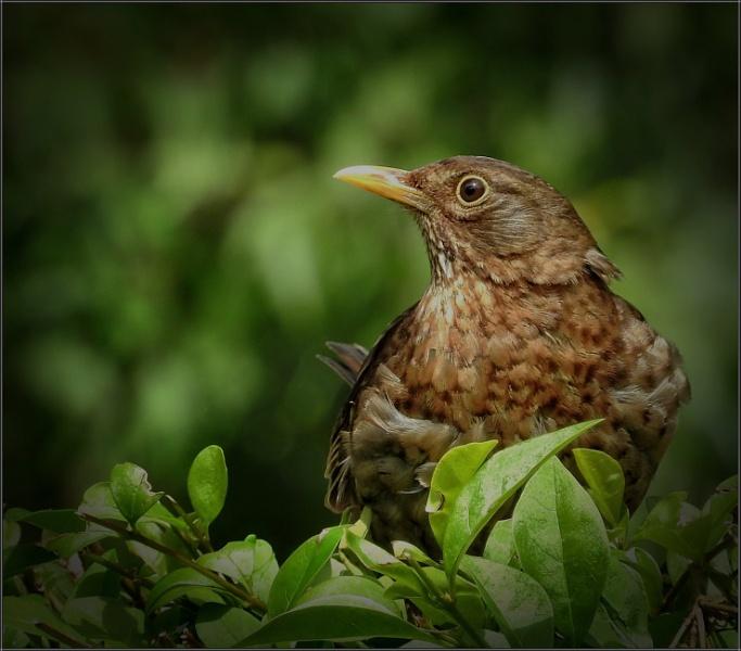Female Blackbird (9)
