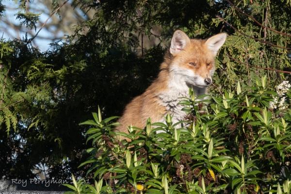 Urban fox in the sun by Roy_Perryman