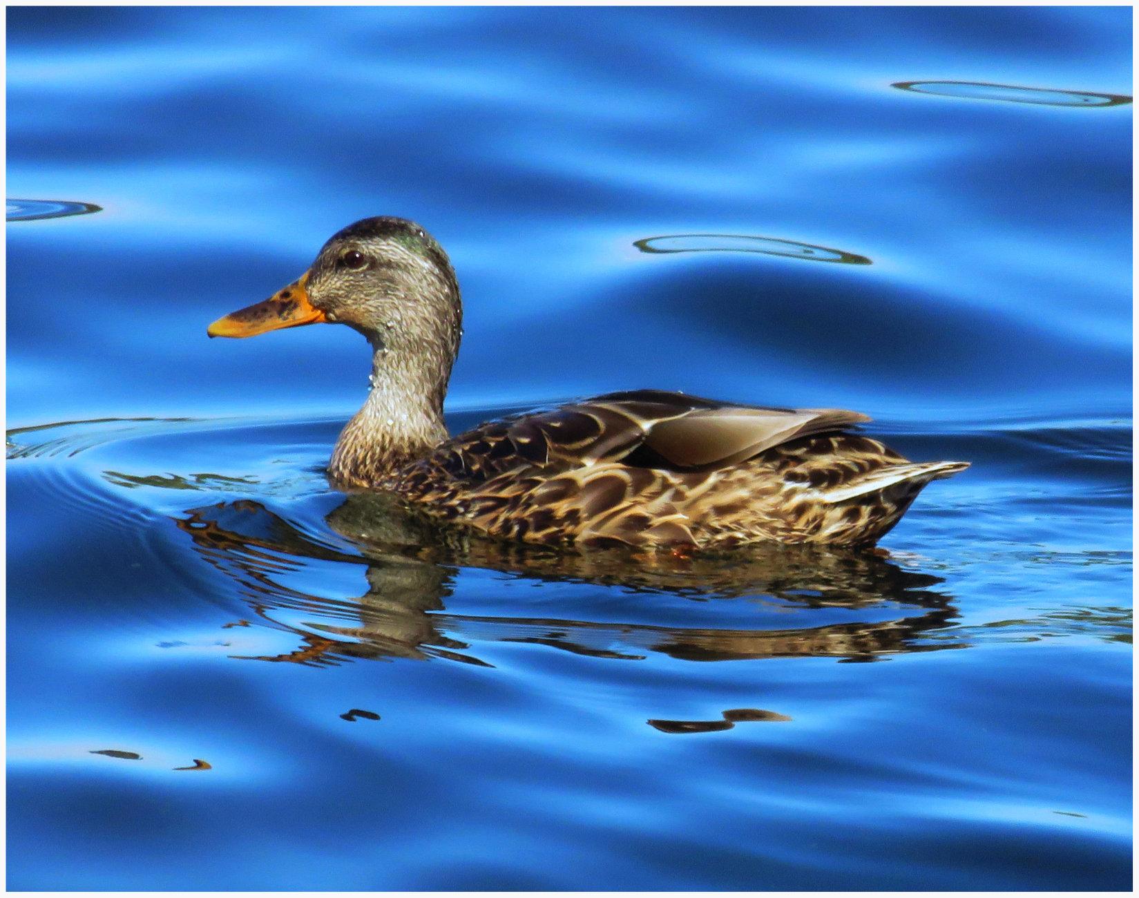 A Female Mallard Duck ( (Anas platyrhynchos)  (best viewed large)
