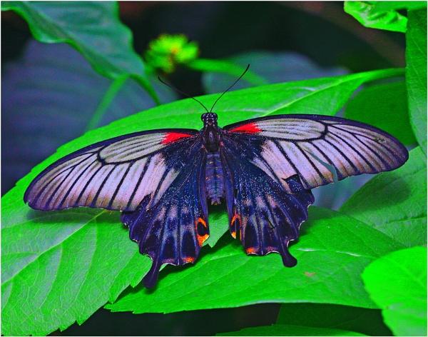 A Great Yellow Mormon (Papilio memnon) by gconant