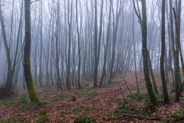 Woodland Fog by mbradley