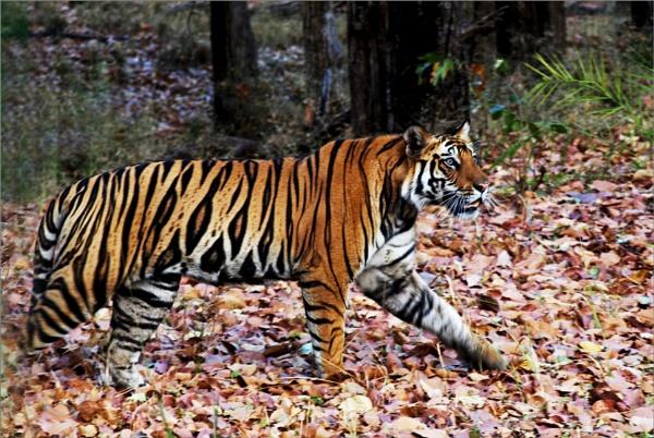 Tiger at Bandhavgarh by JuBarney