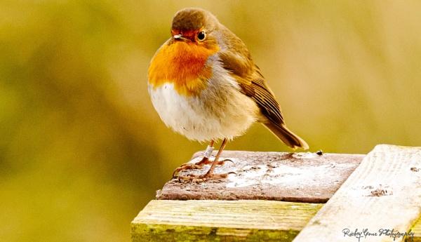 Robin by louie1st