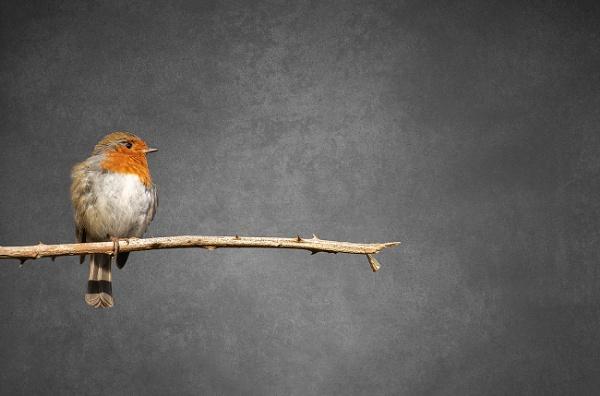 Robin.... by trusth