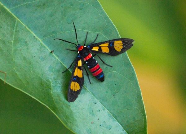 Splendorous Hornet Handmaiden Moth (Euchromia folletii) by Karuma1970