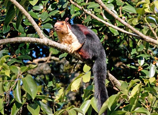 Malabar Giant Squirrel by Karuma1970