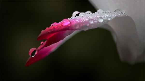Rains soaked Cyclamen by boov