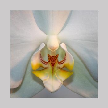 Encore:  White Orchid