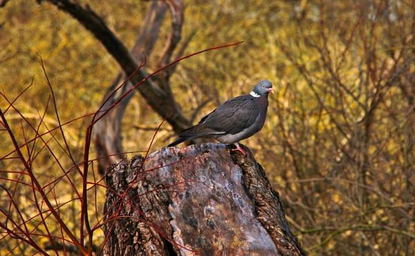 Wood Pigeon by ttiger8