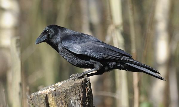 Raven by robertsnikon