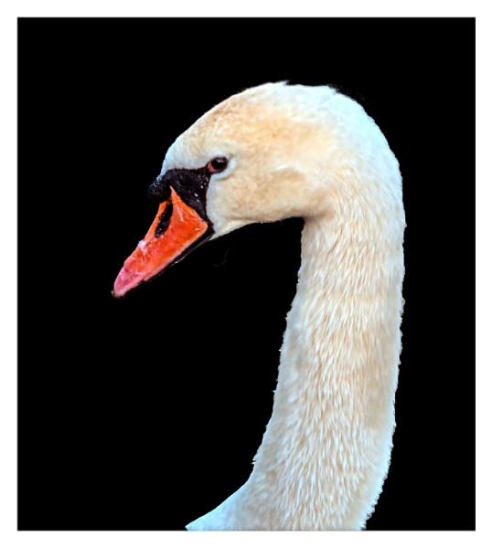 Mute Swan Portrait by Bore07TM