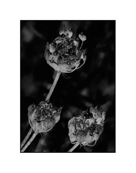 Seedheads by AlfieK