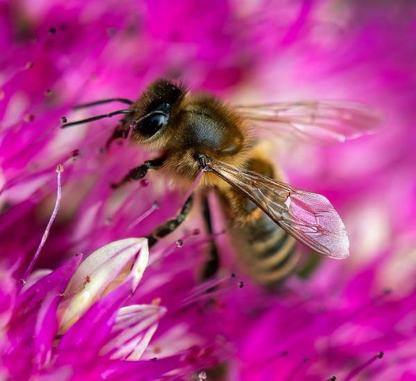 Honey bee on Allium by lagomorphhunter