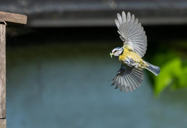 Blue tit bringing back food by lagomorphhunter