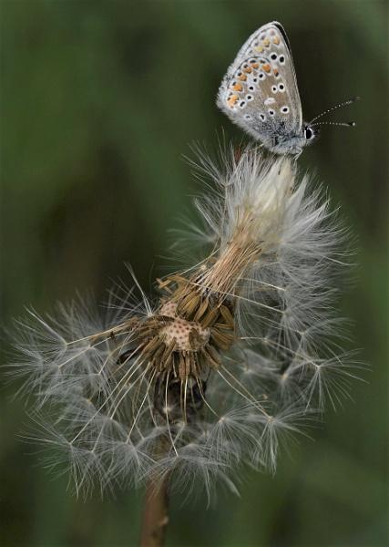 Brown Argus on a seed head by nicholl