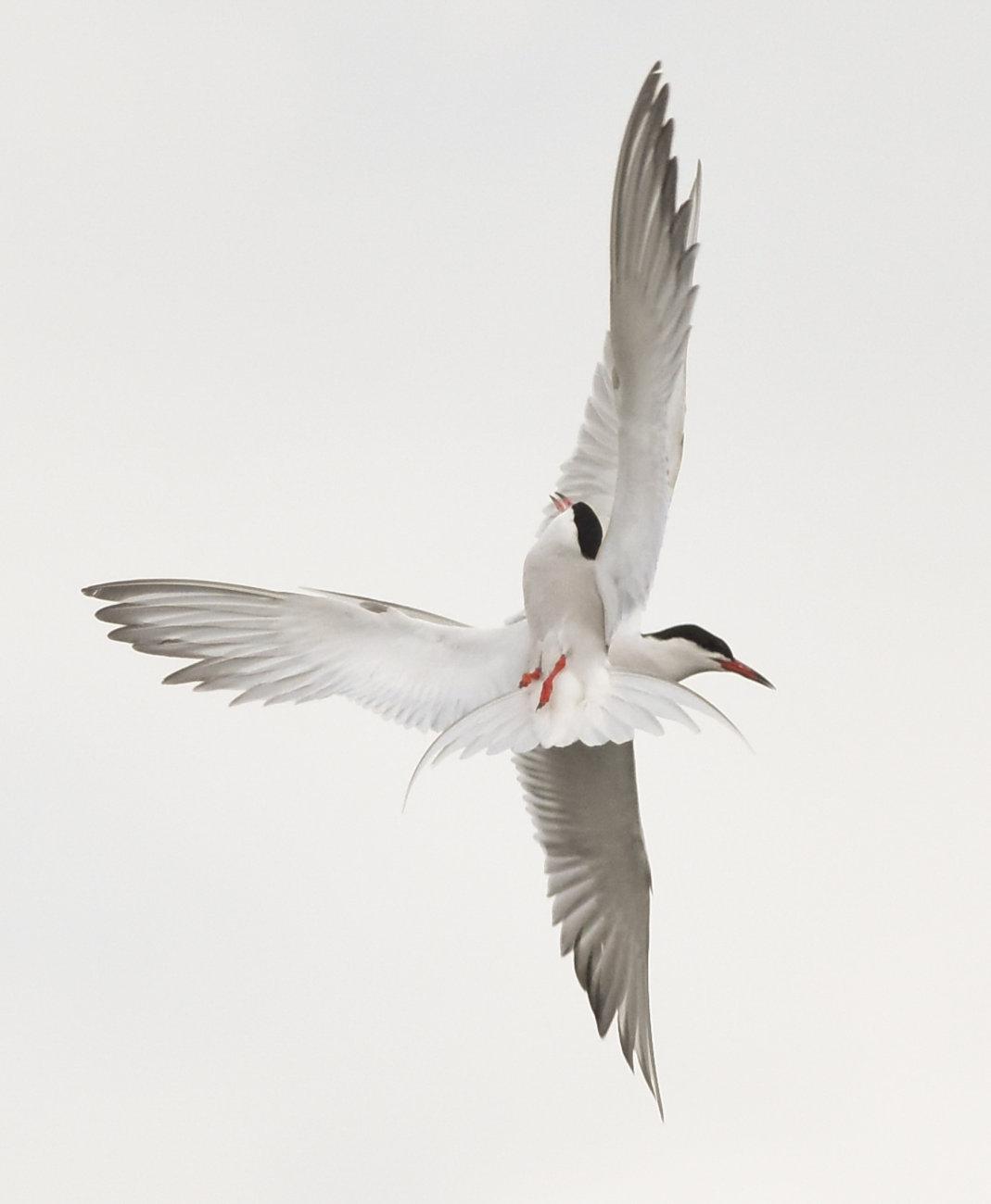 Common Terns crossing over in flight