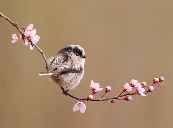 Long Tailed Tit on Blossom by nicholl