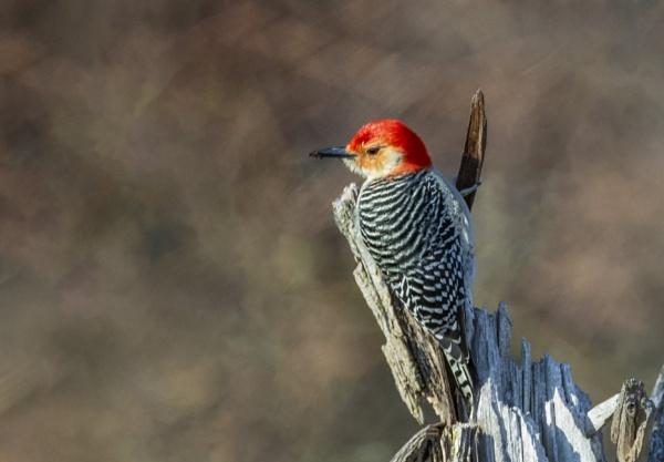 Red-bellied Woodpecker by TDP43