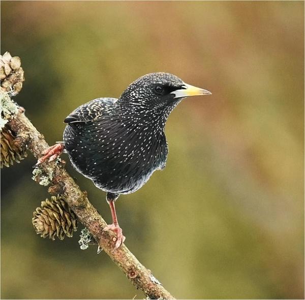 Starling by MalcolmM