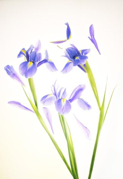 Irises by chase