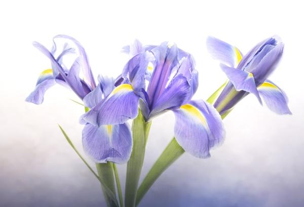 Iris Trio by chase
