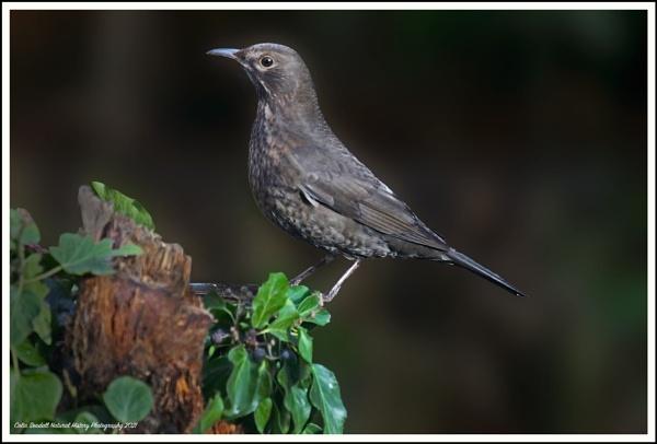 female blackbird by Norfolkboy