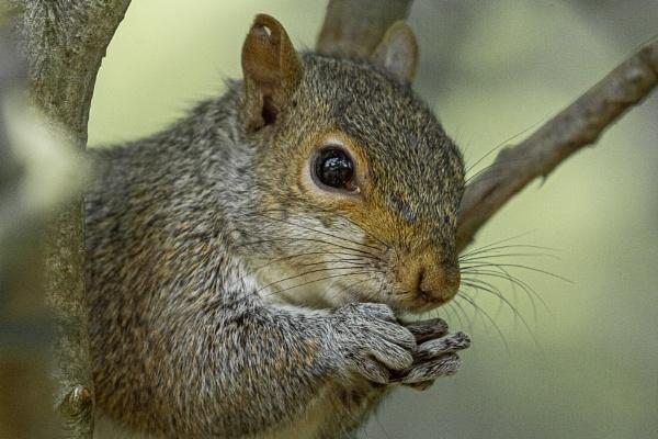 Squirrel Closeup by chensuriashi