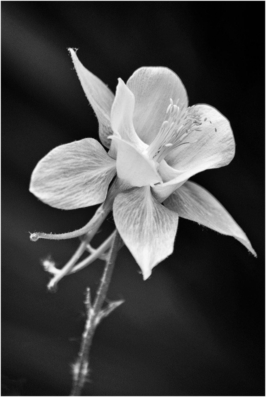 Aquilegia flower?