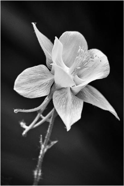 Aquilegia flower? by franken