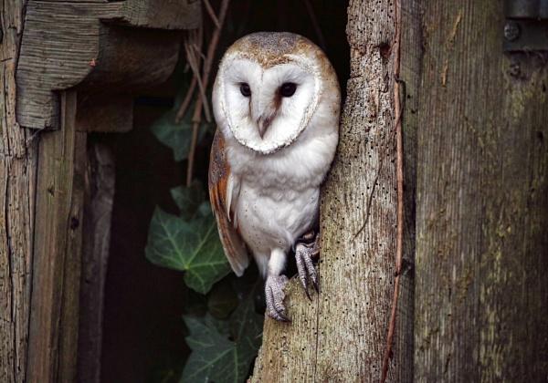 Barn owl by phil87