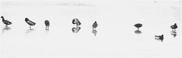 Duck Line-Up by NikitaMorris