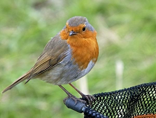 Robin by harrywatson