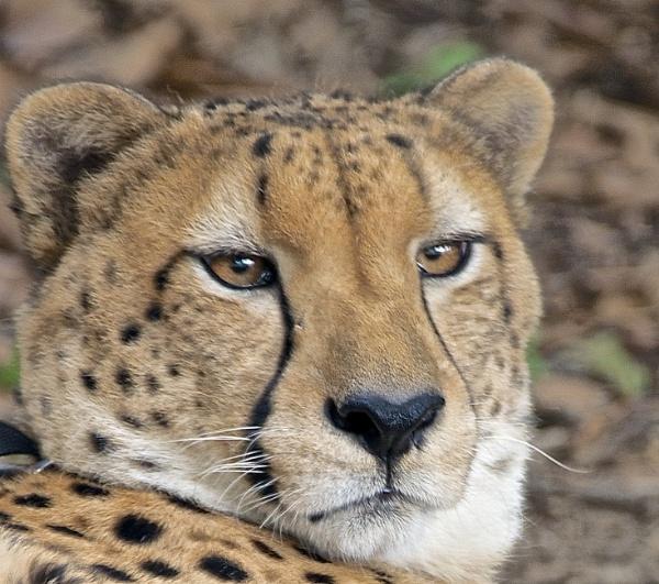 Cheetah by harrywatson