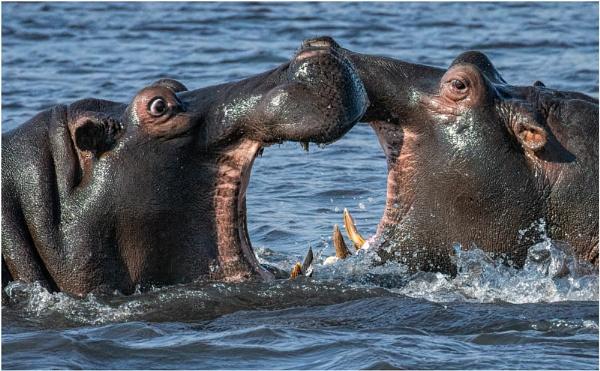 Hippo Kiss by mjparmy