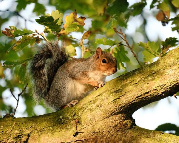 Grey squirrel by iNKFIEND