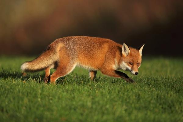 Wary Fox by Len1950