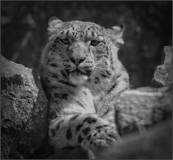 Snow Leopard (5) by PhilT2