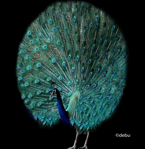 Beautiful peacock by debu