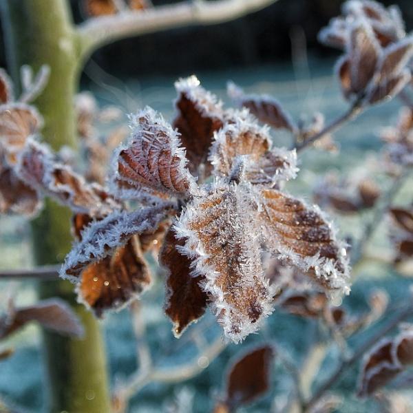 Frosty beech by wisk
