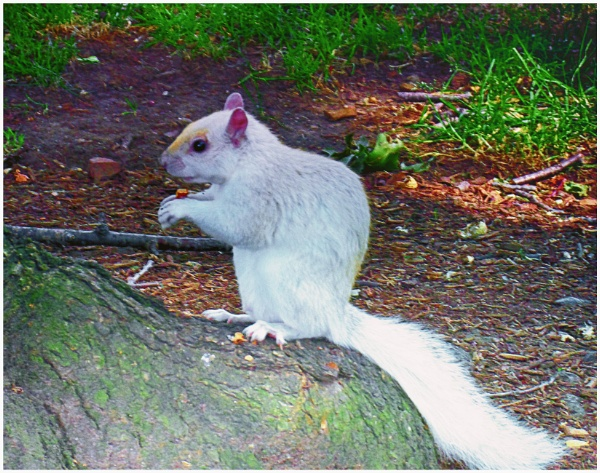 An Albino Gray Squirrel  (best viewed large.) by gconant